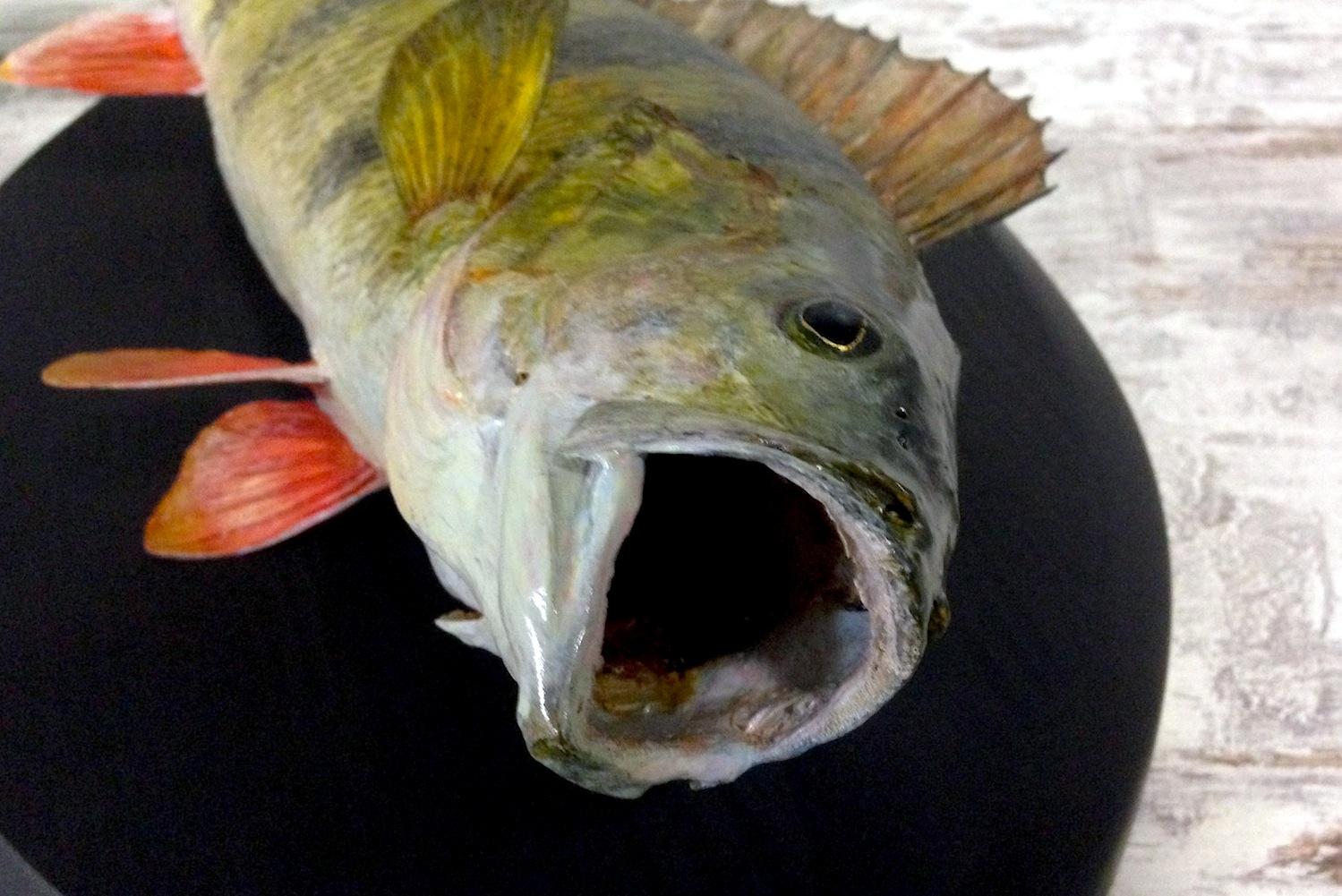 Чучело рыбы окунь